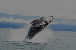 Humpback Whale Breech - Crocodile Bay Costa Rica Fishing Report 2011