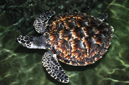 Hawsbill Turtle