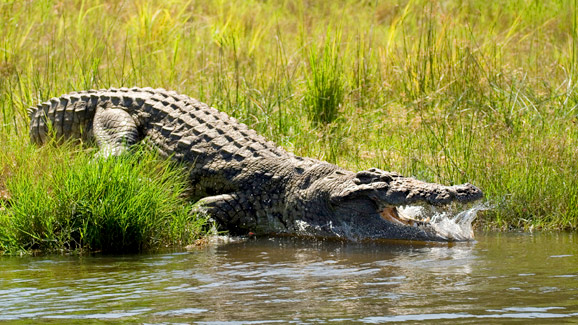 Crocodile in Golfo Dulce