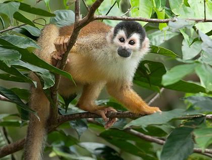Golfo Dulce Spider Monkey