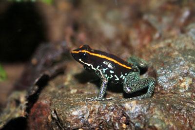 Golfo Dulce Frog