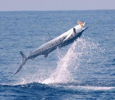 Hooked A Sailfish