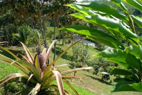 Pineapple Micro Farm