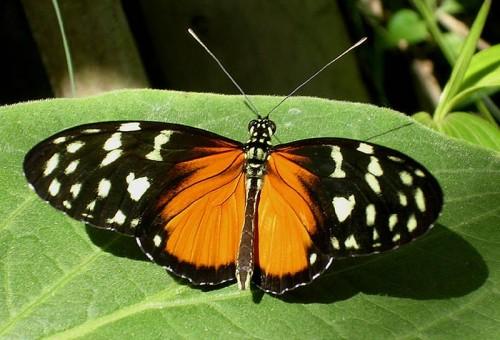 Costa rica butterflies