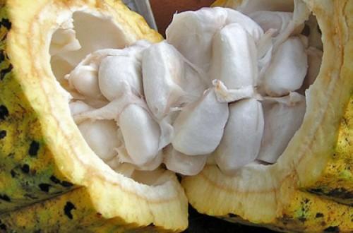 Kobo Farm Cacao