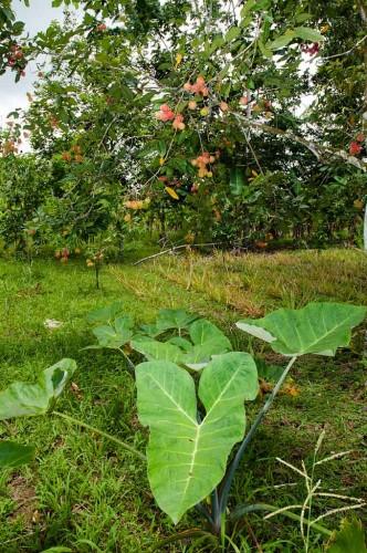 Organic Malanga